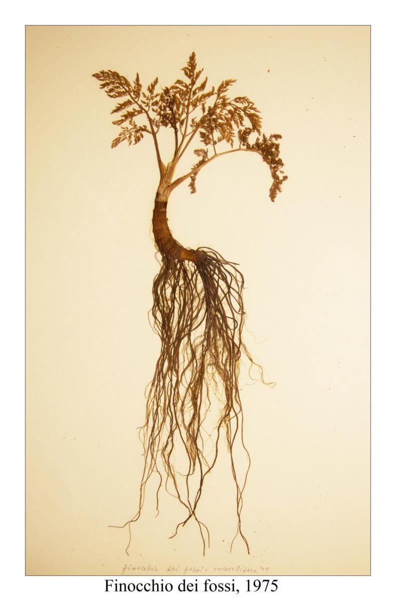 Finocchio dei fossi, 1975, pianta essiccata su foglio 50 x35 cm e conservata sottovetro